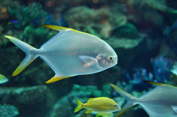 Fish similar to platax or Pomfret in salwater aquarium