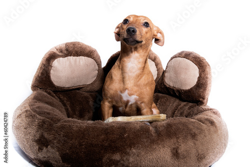 Miniature Pinscher lie in the basket