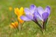Crocus (Crocus L.) Saffron in the spring