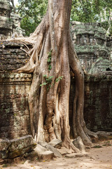 Amazing view of Ta Phrom temple ruins in Angkor, Siem Reap