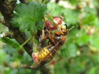 Hornet queen (Vespa crabro) on gooseberry