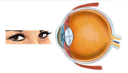göz anatomi