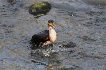 Cormorant full of fish