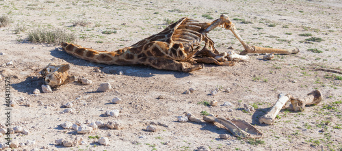 Killed giraffe