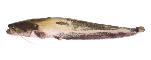 Catfish on white (Clipping path)