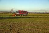 Harvesting Sugar Beet,in Lincolnshire