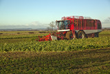 Harvesting Sugar Beet,in Lincolnshire,UK