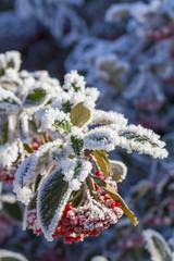 snow on rowan berries