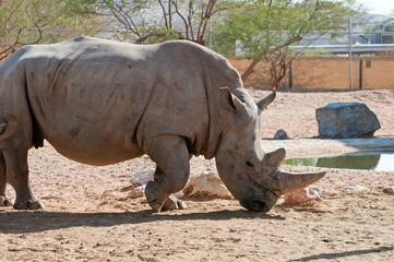 Rhinoceros on a sunny day