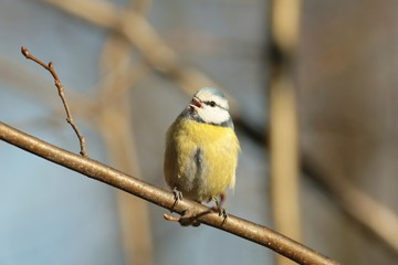 Blue tit (Parus caeruleus) sings in autumn morning