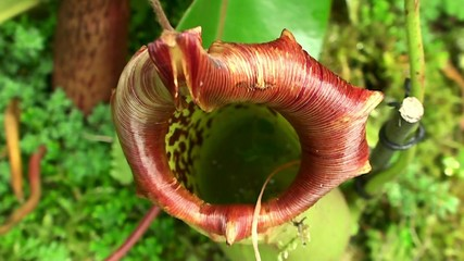 Pitcher of Nepenthes  (Insectivorous Plant).
