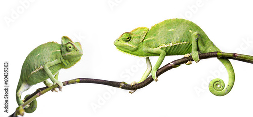 chameleons © Vera Kuttelvaserova