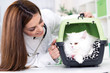 veterinarian with stethoscope calms Persian cat