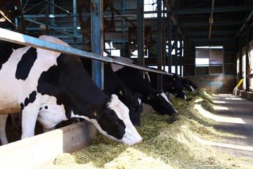 牛舎で草を食べる牛