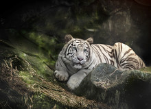 WHITE TIGER sur un rocher