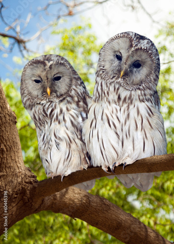 Grey Owls couple on tree