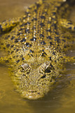 Large saltwater crocodile poster
