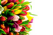 Tulips Mix Rainbow Colours on Left White Background Flat