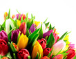 Tulips Mix Rainbow Colours on Bottom White Background Flat