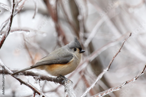 Tufted Titmouse Perched on Frozen Branch