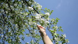Woman hands pick apple tree blooms petal on blue sky in spring