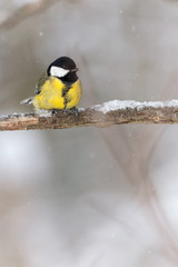 Great tit (Parus major) on a tree branch during winter