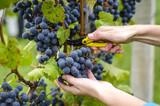 Grape harvesting - Fine Art prints