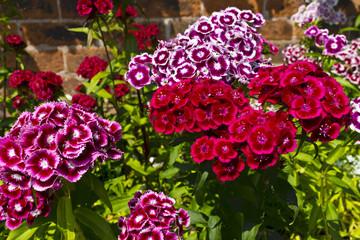 Sweet Williams are a hardy biennial flowers in a garden.