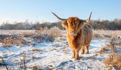 Red Highland cow with  winter fur and long horns