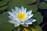 Waterlily in a pond.
