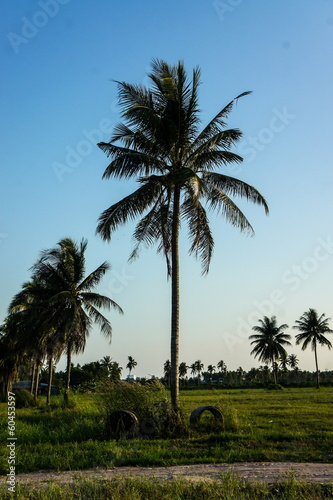 Coconut plantation and cassava farm in thailand