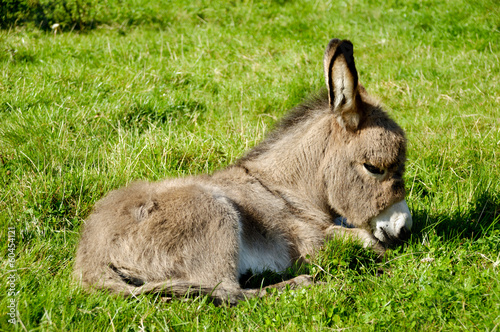 Poster Ezel Young donkey eating grass