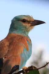 ghiandaia marina del sudafrica