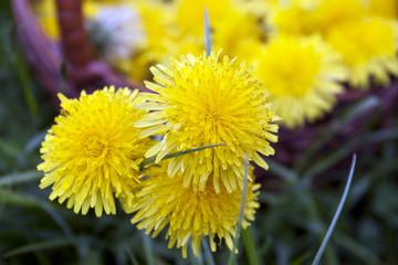 Yellow flowers, dandelion