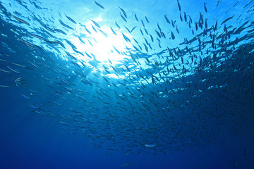 Shoal of anchovies in the sea