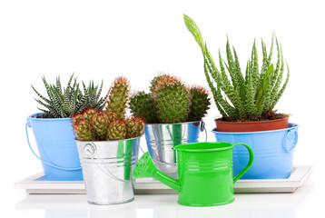 succulent cactus in a metal bucket and Aloe, on white background