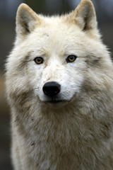 Portrait of a Polar Wolf