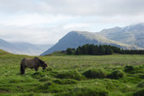 Horse in the fields of Iceland, summer