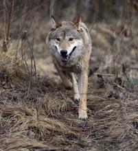 Loup gris dans les bois