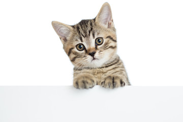 cat kitten peeking out of a blank banner, isolated on white back