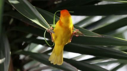 Goldweber startet mit dem Nestbau