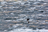 Cormorant flying over ocean