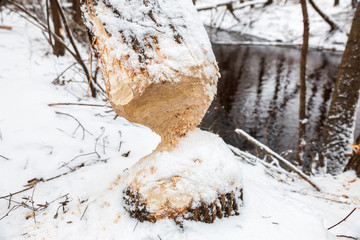tree beavers gnaw winter