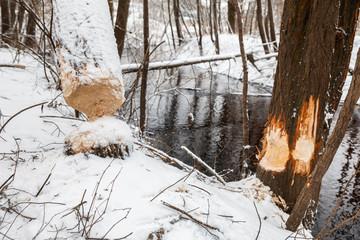 tree beavers gnaw winter