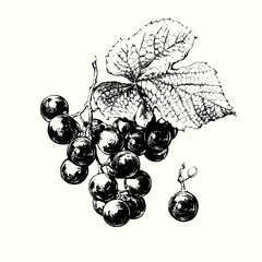 Vine of Grapes