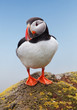 Bird Puffin - Norway