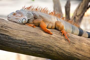 iguana reptile sitting