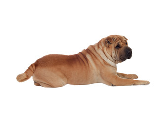 Beautiful Shar Pei Dog Breed isolated on a white background