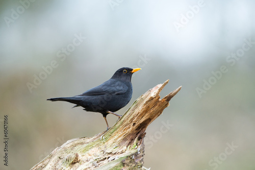 Common blackbird in nature
