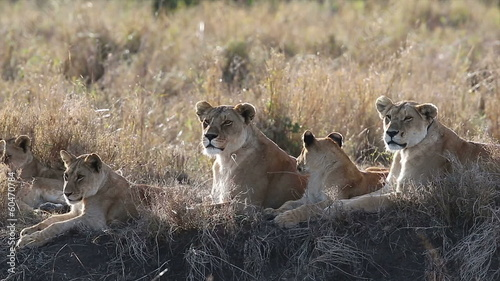 Lions with cubs a hot day in Serengeti
